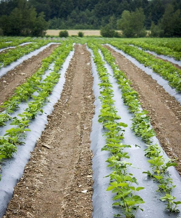 champs fraise 2_réduit