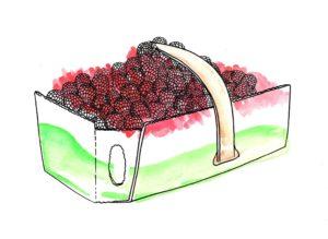 Panier-framboises-cueillette