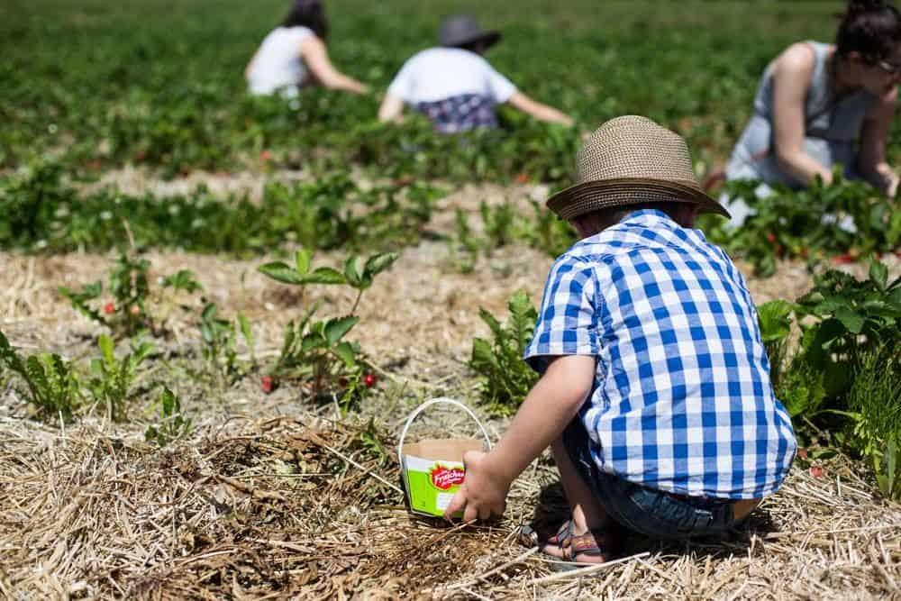 La fraise du qu bec dans l 39 alimentation des enfants fraises et framboises du qu bec - Comment cueillir des fraises ...