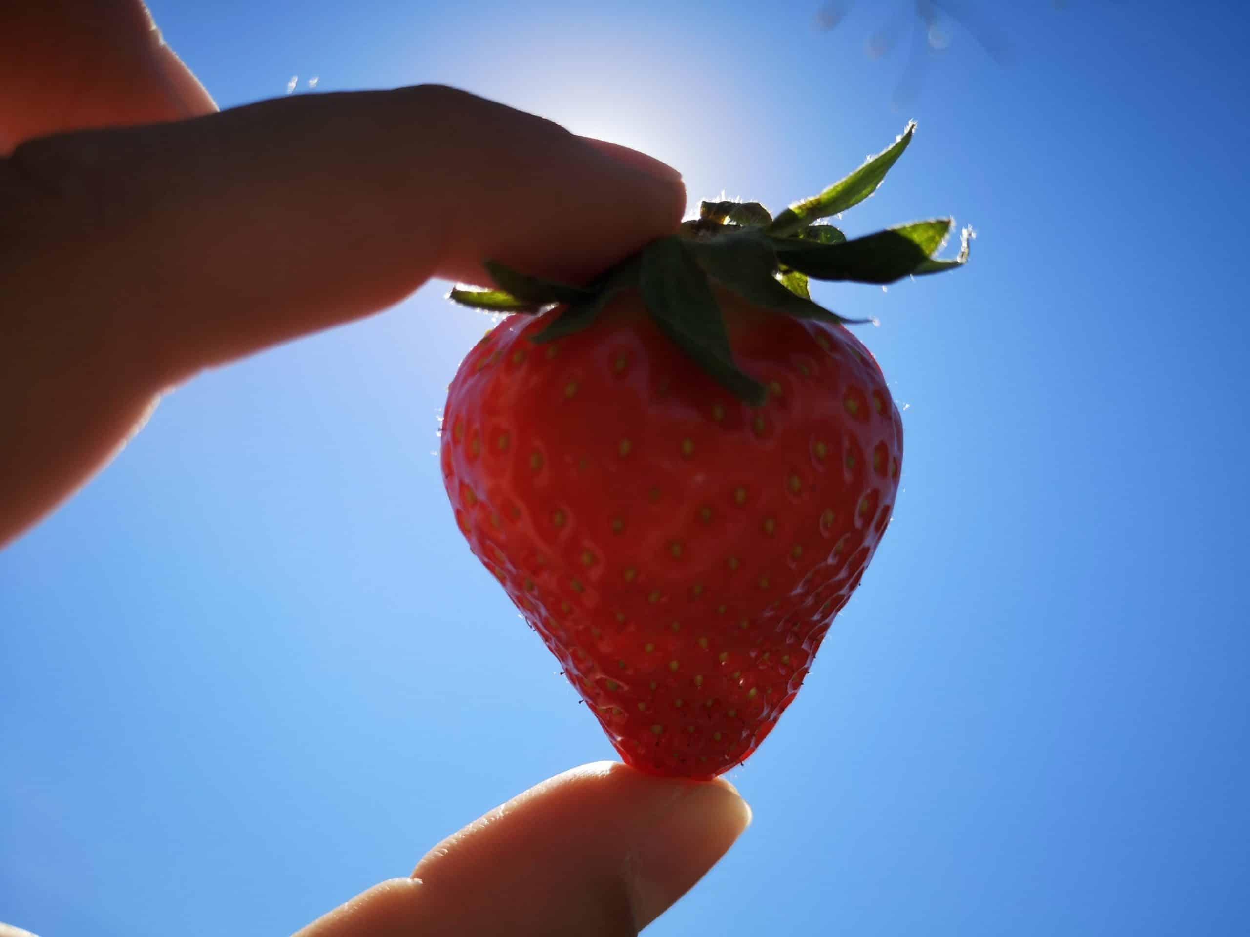 fraises soleil