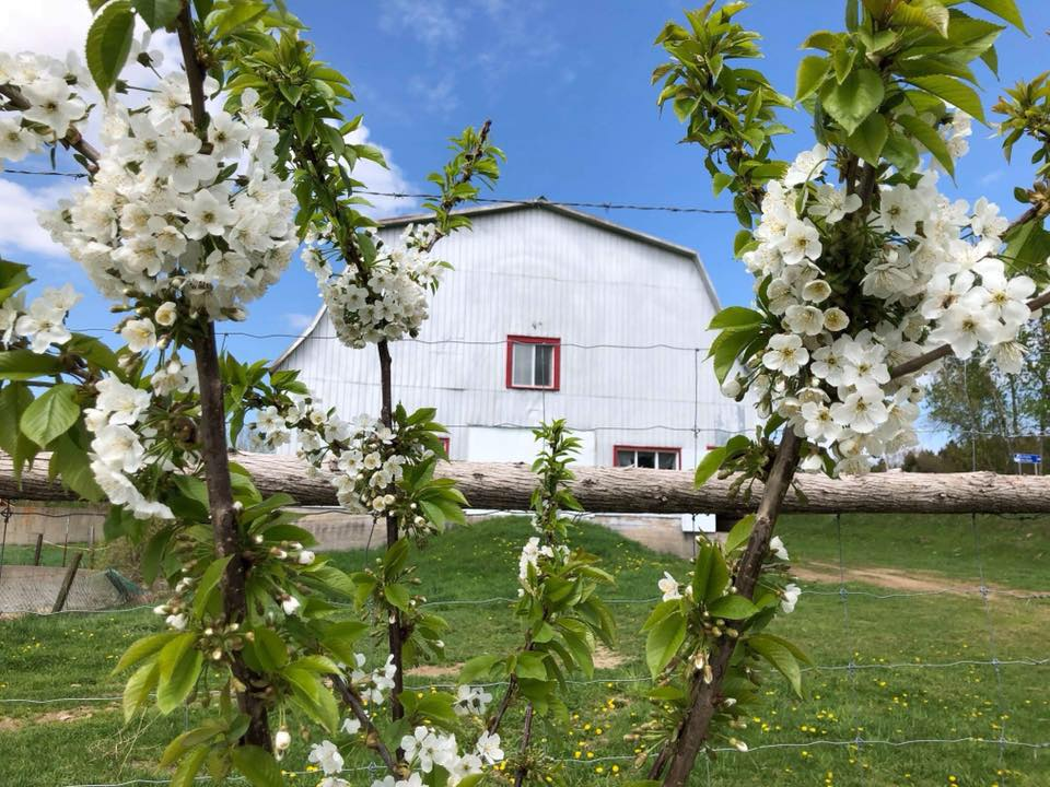 Vieille grange et arbres en fleurs